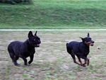 Фото гостиницы для животных Французский бульдог и пинчер